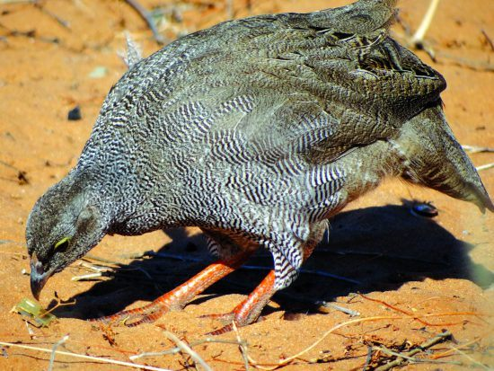 A Red-billed spurfowl pecking in the sand