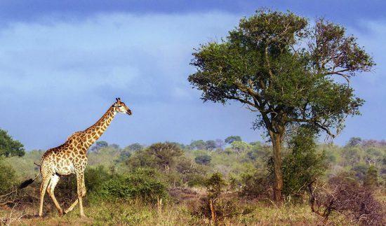 Girafa caminhando na Reserva Balule, na África do Sul