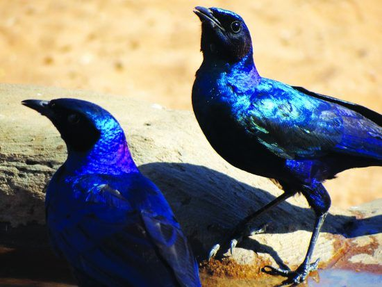 A pair of Cape Glossy Starlings