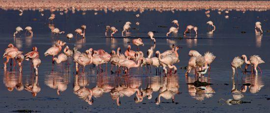 Viele rosa Flamingos im Wasser