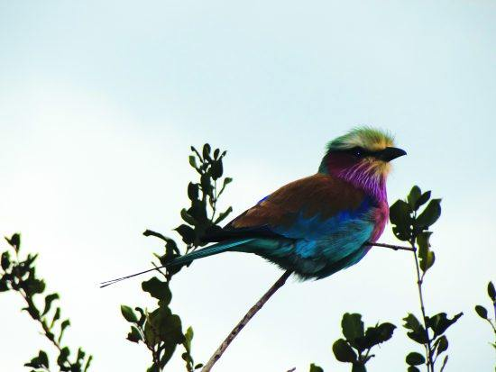 The spectacular Lilac-breasted roller