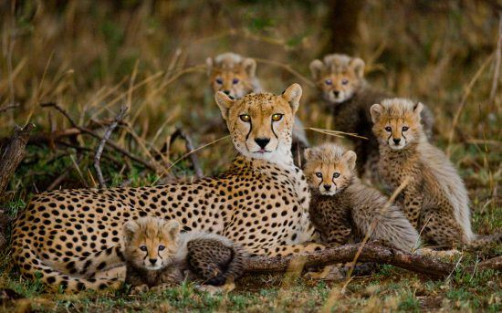mother cheetah with five cubs