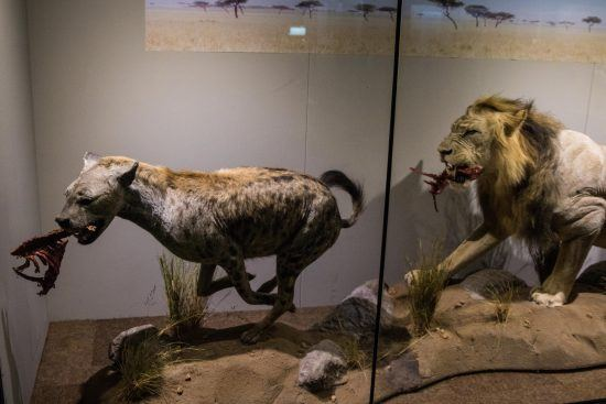 The display of taxidermied mammals at Iziko Museum