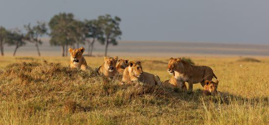 pride of lions in grass