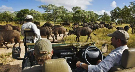 A safari vehicle comes across a herd of migrating wildebeest at Royal Malewane