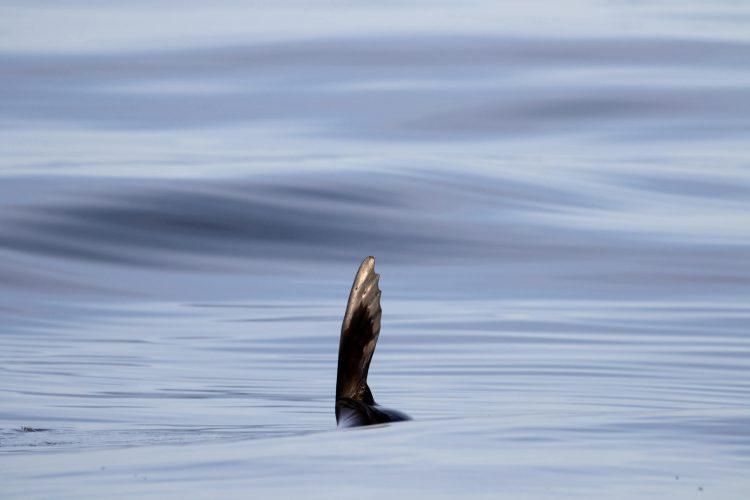 Aleta de lobo marino saliendo del agua