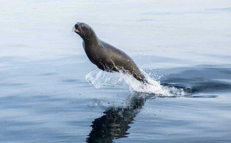 Lobo marino saltando del agua