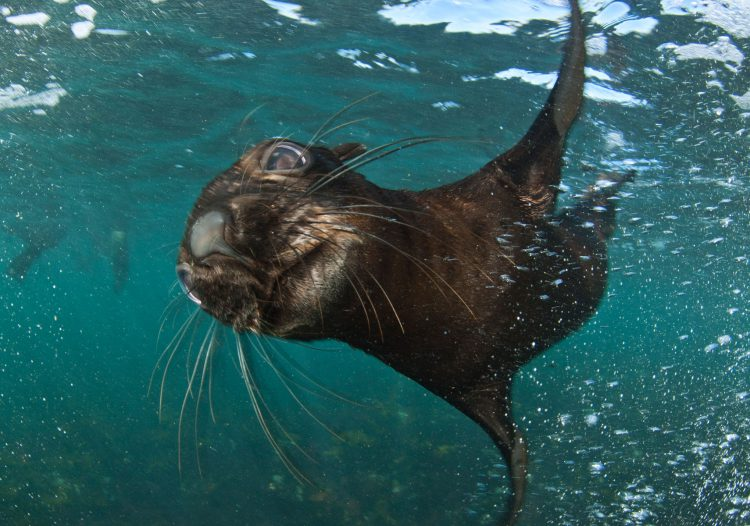 Lobo marino bajo el agua