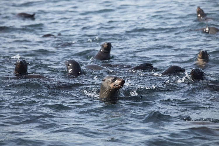 Leones marinos nadando en las aguas alrededor de la isla Duiker