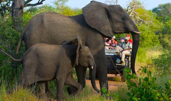 Dois elefantes cruzam a estrada durante safári na Reserva Balule, na região do Grande Kruger