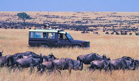 Gnus são observados durante safári no Quênia