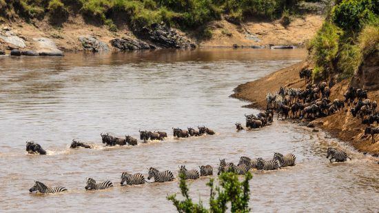 zebra and wildebeest crossing