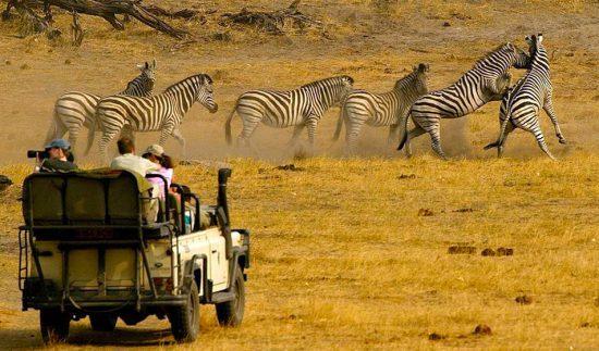 Zebras dão show a parte durante safári na África, Parque Nacional Kruger