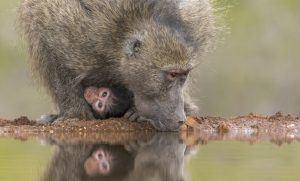 Mère et bébé babouin près d'une rivière au Kruger