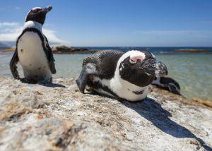 Pinguins-africanos podem parecer desajeitados quando em terra, mas são nadadores habilidosos