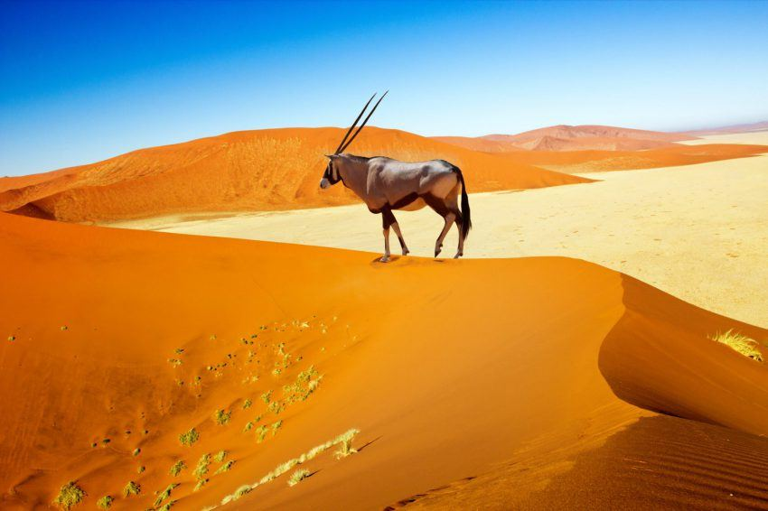 Eine Oryx-Antilope in Namibias Dünen