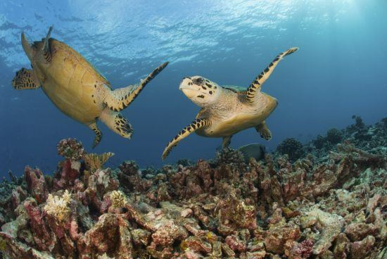 Mozambique under water ocean life - turtles