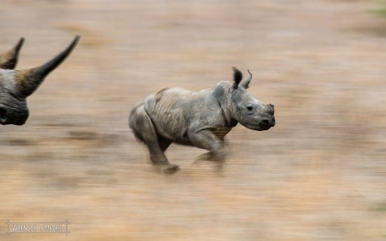 A rhino calf runs through the long grass