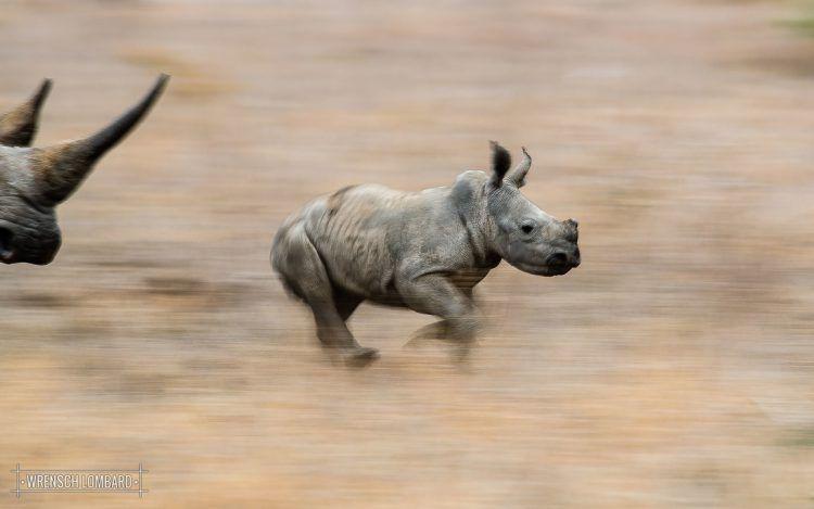 Petit rhinocéros galopant dans la savane africaine suivi par sa mère