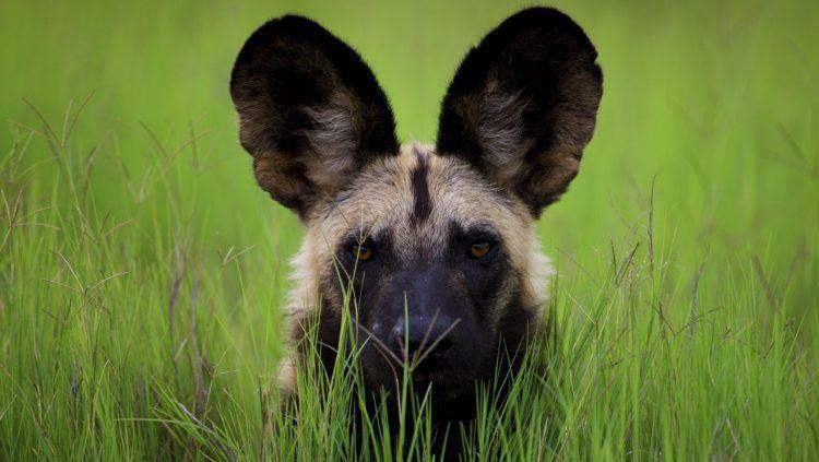 Chien sauvage d'Afrique ou lycaon dans la brousse africaine
