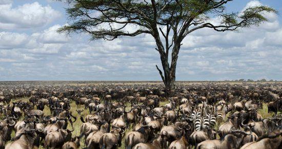 La famosa Gran Migración de Ñus