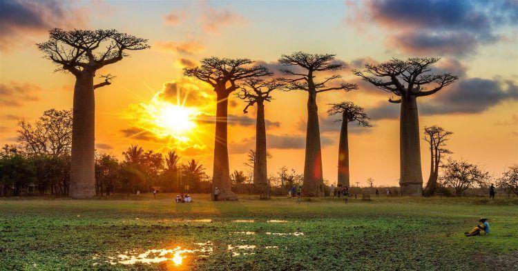 Baobab-Bäume auf Madagaskar