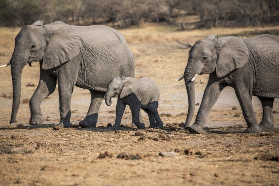 Two elephants walking by with a calf between them