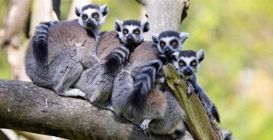 Lémures abrazados a una rama en Madagascar