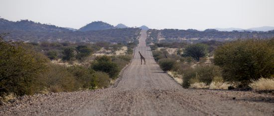 A giraffe in road in Namibia