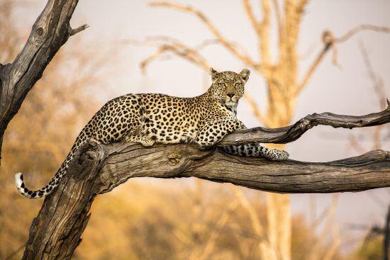 leopard spotted on a botswana safari