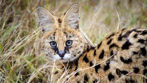 Serval allongé dans les hautes herbes de la savane