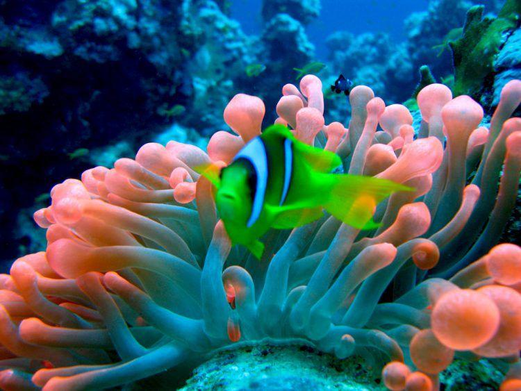 Peixe verde nada entre recife de corais coloridos