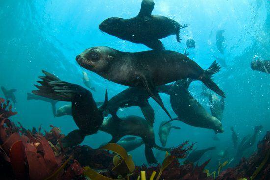 Südafrikanische Seebären tummeln sich vor Hout Bay unter Wasser