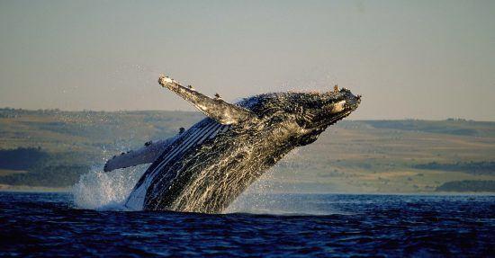 Ein Buckelwal springt aus dem Wasser und lässt sich wieder auf den Rücken ins Wasser fallen