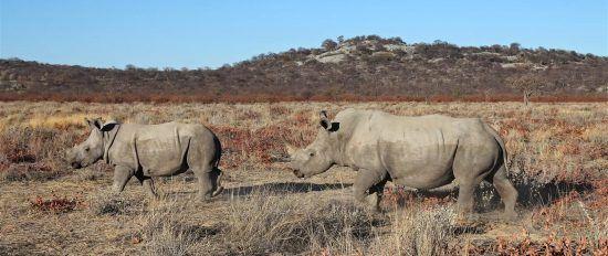 Damaraland's rhinos