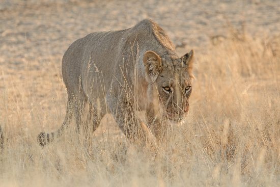 Lone lioness walking through long dry grass