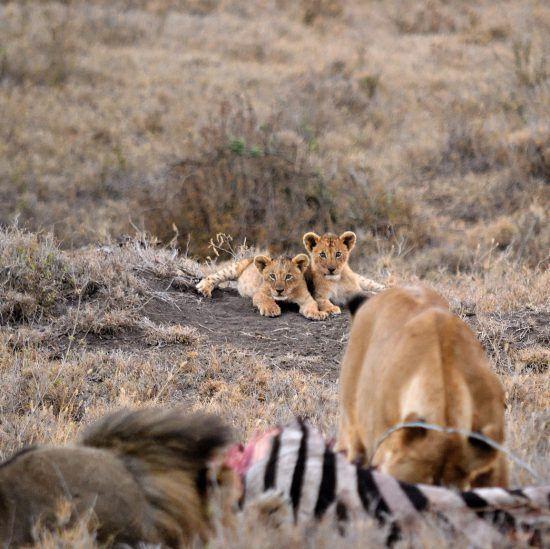 Dois filhotes de leão observam fêmea e macho devorando zebra
