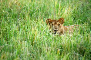 Lionne dans les hautes herbes au Parc National du Tarangire
