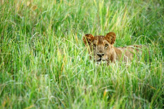 Lion lying in lush grass in Africa