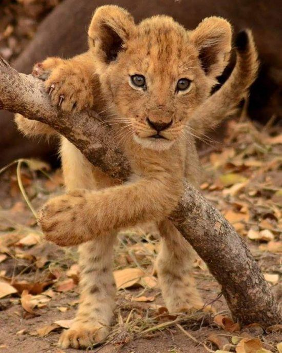 Lion club playing over a branch