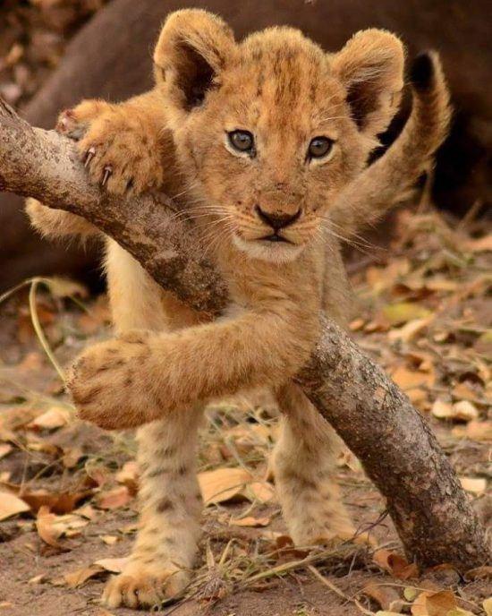 Filhote de leão brinca com galho