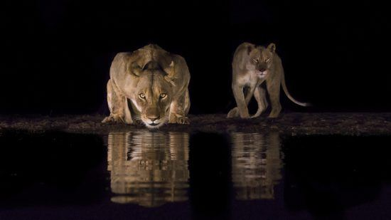 Lion drinking from water at night with another lion close by