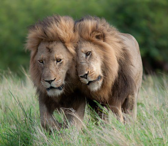 Two lions walking through long grass together