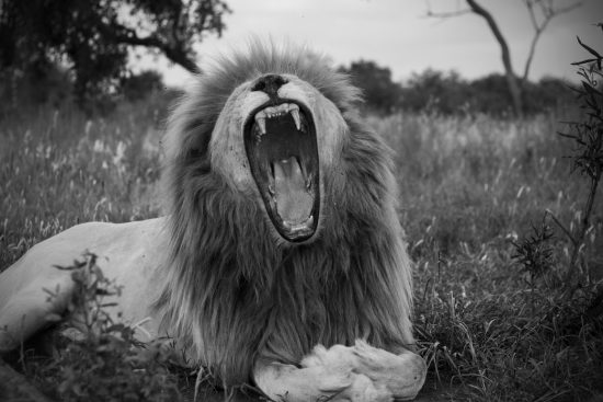 Black and white close-up of a lion yawning
