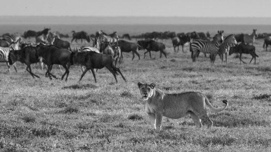 Leão fita câmera enquanto zebras e gnus caminham ao fundo