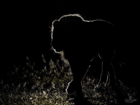 Backlit silhouette of a lion