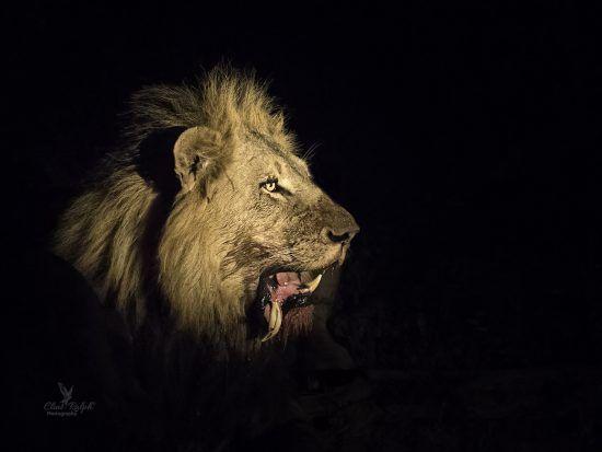 Leão devora presa na escuridão