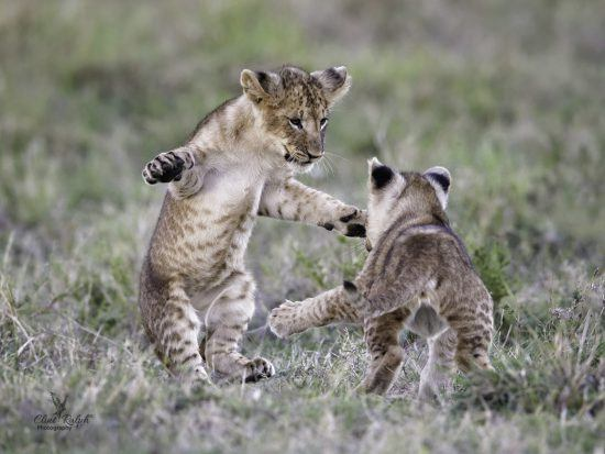 Two lion cubs playing together in the grass