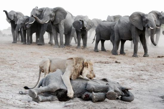 Baby elephant taken down by a lion with its herd in the background