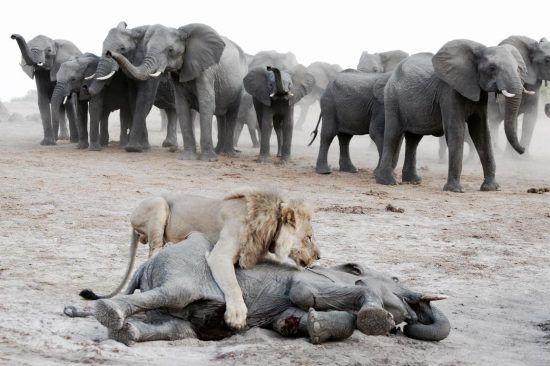 Leão derruba filhote de elefante, enquanto manada de elefantes observa ao fundo